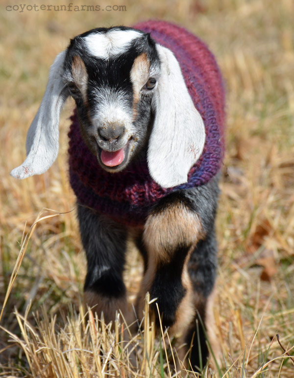 Baby Goat from Coyote Run Farms