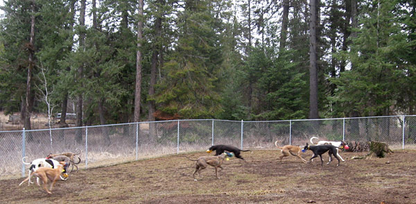 Zooming Greyhounds