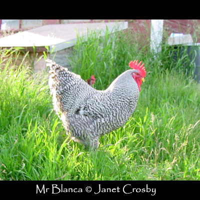 Mr Blanca as a young rooster