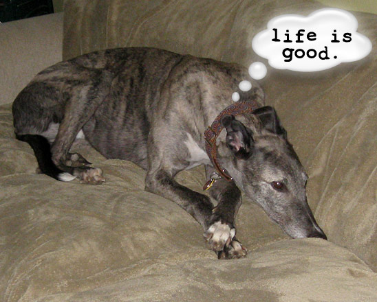 Nothing is more typical than a Greyhound loving life on the couch.