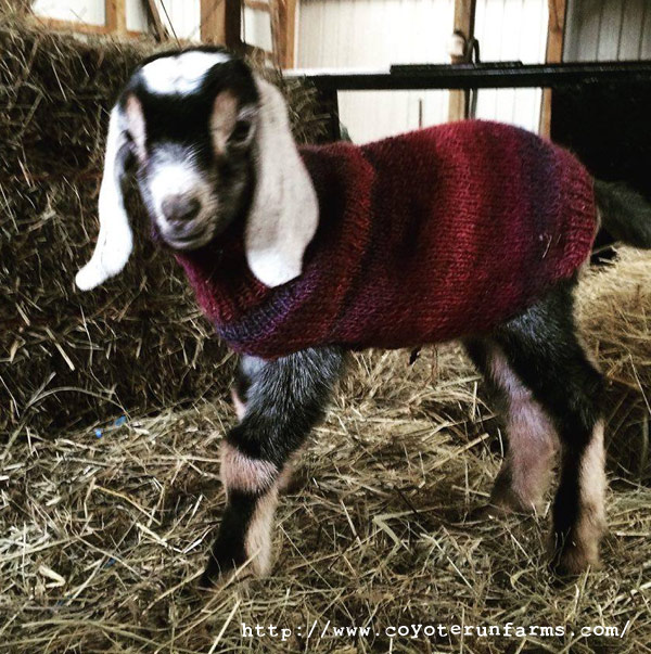 Baby Goat Wearing His Coat